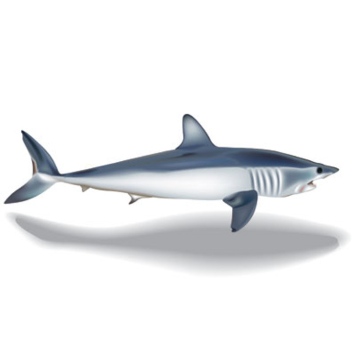 איור דג עמלץ (כריש)
