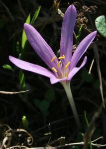 סִתְוָנִית הַיּוֹרֶה – Colchicum stevenii, צילם פרופ' אבינעם דנין, מן האתר צמחיית ישראל ברשת (http://flora.huji.ac.il)