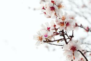 closeup of almond blossom