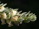 """עפעפית רבת-פרחים (צילום: אבינעם דנין, באדיבות """"צמחיית ישראל ברשת"""")"""