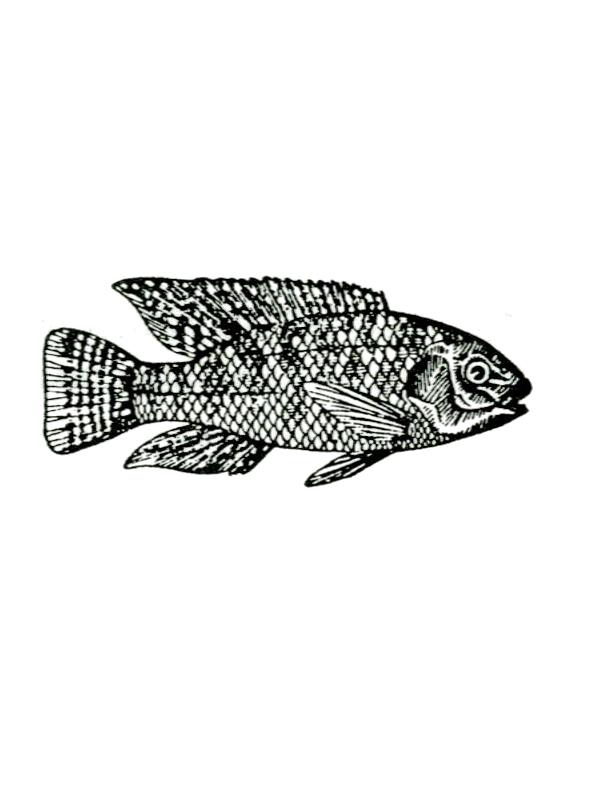 אַמְנוּן מָצוּי - Cichlid fish