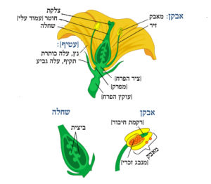 איור של פרח ותיאור חלקיו בעברית