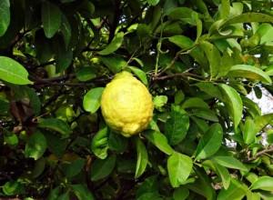 צילום של לימון על עץ