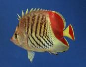 צילום של דג פרפרון האודם