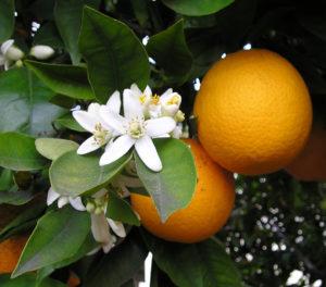 צילום של שני תפוזים על עץ