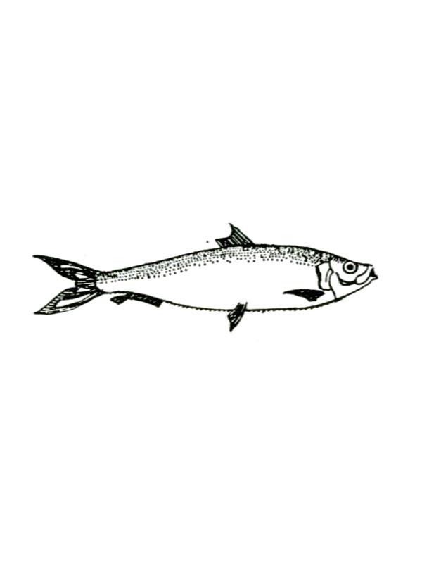 טְרִית דַּקָּה - sardine