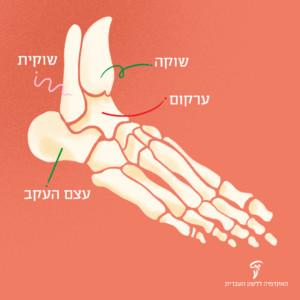 תרשים אנטומי של כף רגל