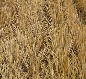 צילום של שיבולים בשדה