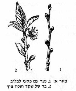 איור של נצר עם פקעי לבלוב ובד של שקד ועליו ציץ